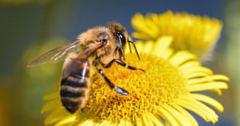 Укус пчелы: что делать с отеком в домашних условиях и первая помощь при травме у ребенка, лечение опухоли или аллергии у человека и чем ее помазать