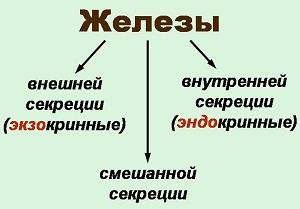 какие железы связаны с эндокринной системой