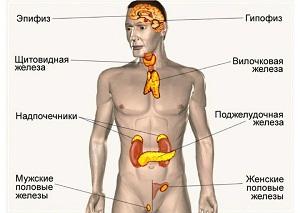 эндокринная система это система желез