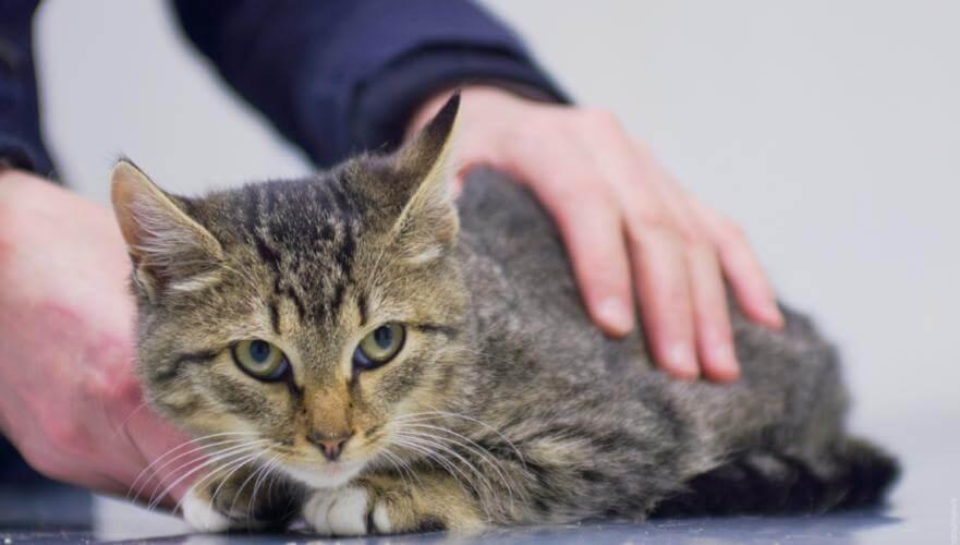 Что делать, если у кошек сальмонеллез? Сальмонеллез у кошек и котов