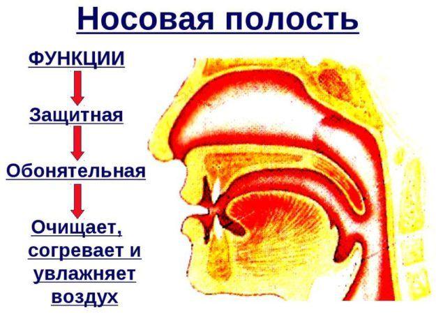 Анатомия носа и его функции в организме