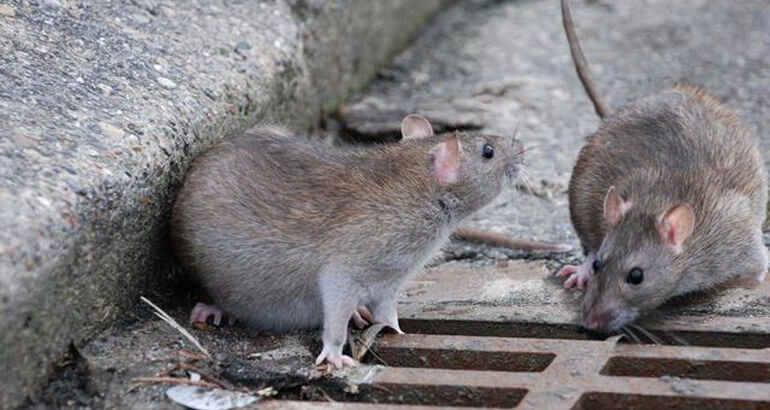 Укус домашней крысы что делать
