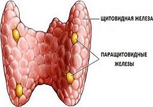 щитовидная железа и паращитовидная железа