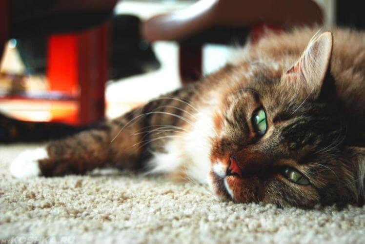 Коронавирусный гастроэнтерит у кошек