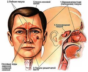 Пазухи носа человека