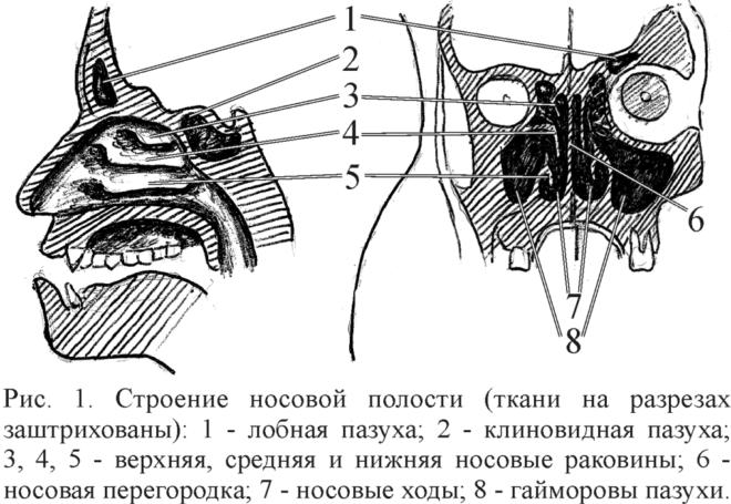 Полость гайморовой пазухи